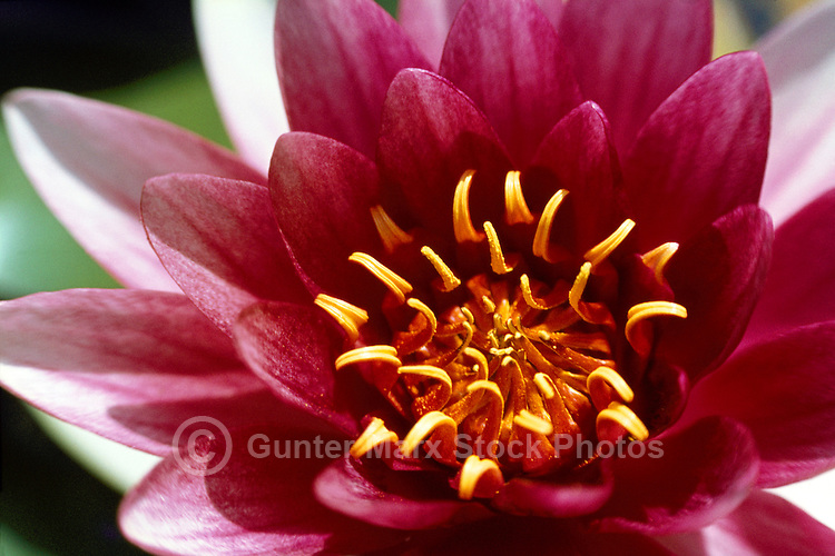 Close up of Red Water Lily (Nymphaeaceae) blooming