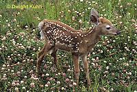 MA11-040z  White-tailed Deer - fawn - Odocoileus virginianus