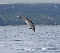 BNPS.co.uk (01202 558833)<br /> Pic: TomBrereton/BNPS<br /> <br /> Pictured: One of the dolphins leaps from the water at Weymouth Bay<br /> <br /> Dolphins from one of the three colonies known to inhabit UK waters have become the first to swim over 800 miles to join another group, marine scientists have revealed.<br /> <br /> The two bottlenose dolphins are known to have left the Moray Firth in Scotland in 2018 and have now joined the group that inhabit the sea off the south west coast.