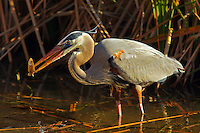 Great blue heron with freshly caught fish