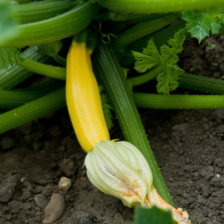 Yellow courgette 'Atena' F1, end June. Seeds sown 10 weeks earlier.