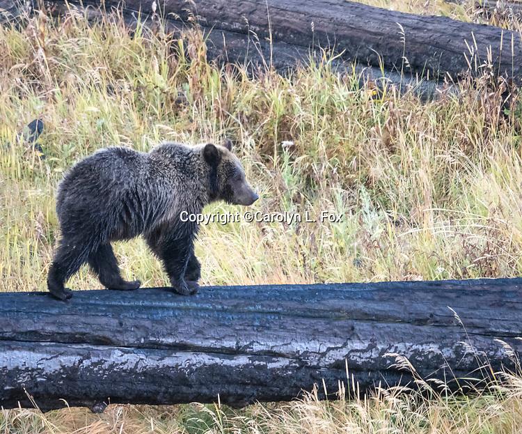Raspberry's cub Rascal is often seen in Yellowstone.