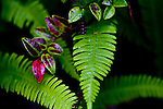 Ferns in rainforest, Ucluelet, Vancouver Island, near Pacific Rim National Park.