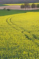 Europe/France/Bourgogne/89/Yonne/env de Tonnerre: Paysage agricole Chemin et Champ de Colza en fleur
