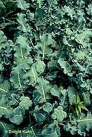 HS17-025b  Broccoli - Premium Crop variety