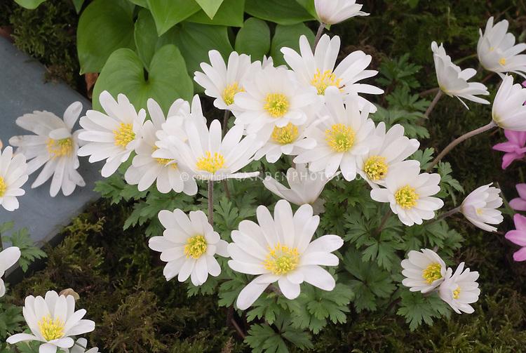 Anemone blanda 'White Splendour' in spring flowers