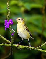 Adult female Tennessee warbler in breeding plumage