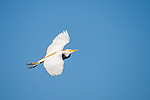 Damon, Texas; a cattle egret flying overhead against a blue sky in late afternoon light