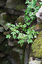 Geranium robertianum (Herb Robert). Quiet Time: DMZ Forbidden Garden, designed by Jihae Hwang to evoke the Demilitarized Zone between North and South Korea, RHS Chelsea Flower Show 2012