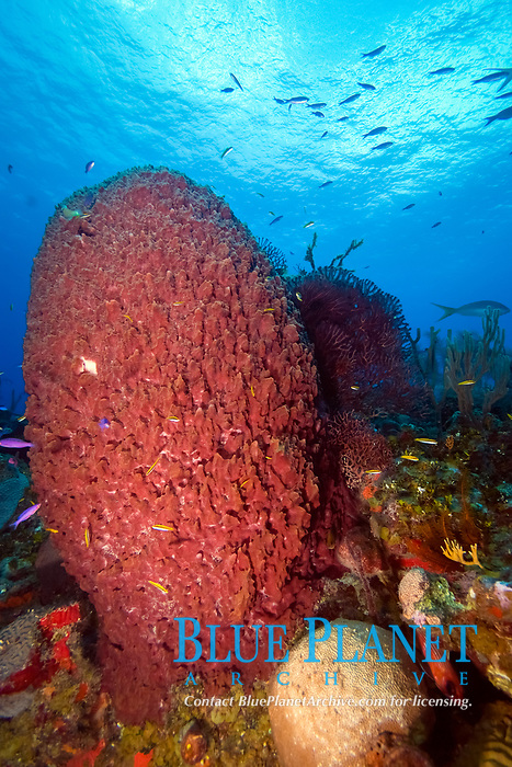 Giant barrel sponge, xestospongia muta, can grow to 2m/6.5ft. They are common throughout the caribbean, and can live to over 100 years old.
