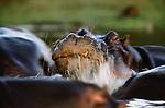 Hippopotamus, Lake Manyara, Tanzania