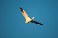 Snow Goose (Chen caerulescens) adult in flight, Bosque del Apache National Wildlife Refuge , New Mexico, USA