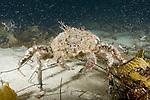 La Jolla Underwater Ecological Reserve, La Jolla, California; a lone Masking Crab (Loxorhynchus crispatus) walking across the sandy sea floor