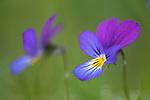 Wild Pansy (Viola tricolour). Nordtirol, Austrian Alps, Austria, July.