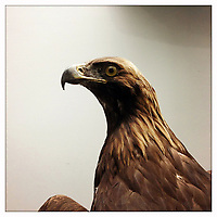 A stuffed eagle on display in the Natural History Museum in Beijing, China.
