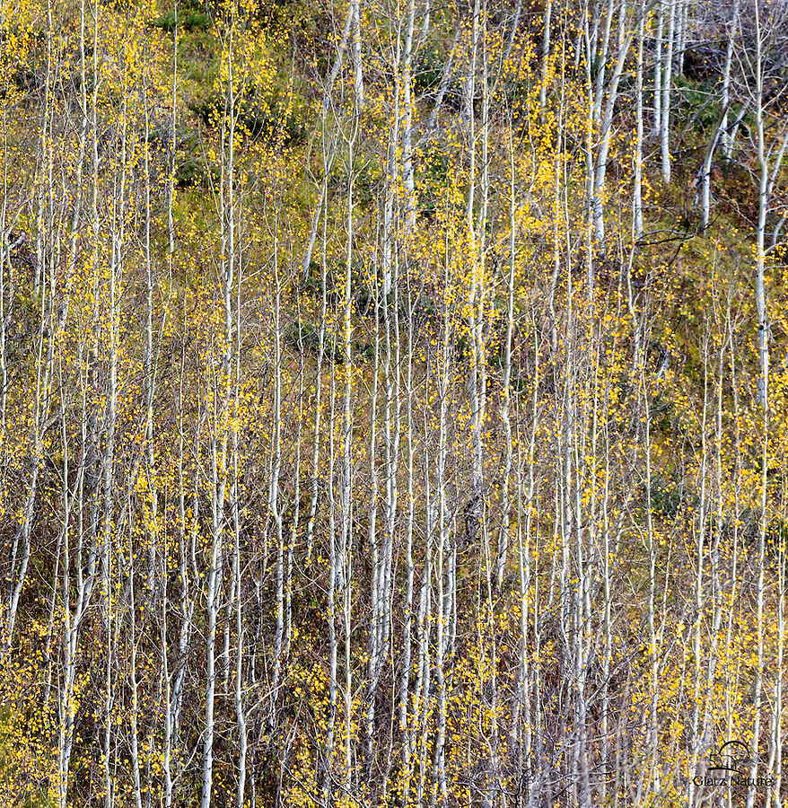 Aspen leaves and trunks form a geometric pattern, Jasper National Park, Alberta, Canada