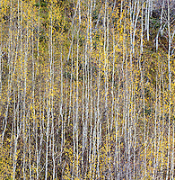 Aspen leaves and trunks form a geometric pattern, Jasper National Park, Alberta, Canada