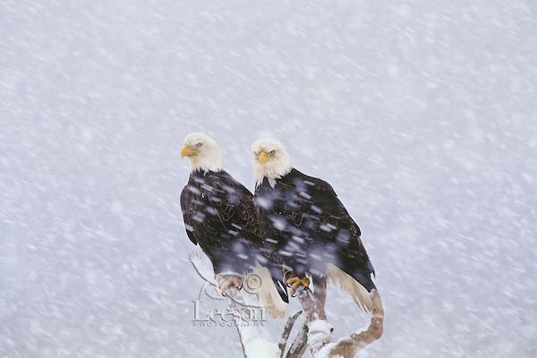 Bald Eagles (Haliaeetus leucocephalus) during winter snowstorm.