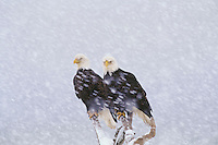 Bald Eagles (Haliaeetus leucocephalus) during winter snowstorm.