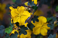 Fremontodendron 'Pacific Sunset', yellow flowering California native shrub cultivar