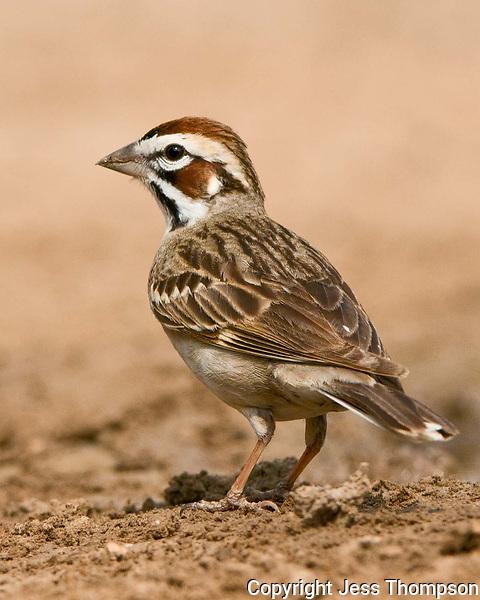 Lark Sparrow, Dos Venadas Ranch, South Texas