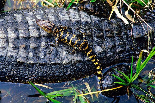 Young American Alligator (Alligator mississippiensis) resting on mother, Southeast U.S.