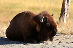 Bison at Rest, Firehole River, Yellowstone National Park, Wyoming