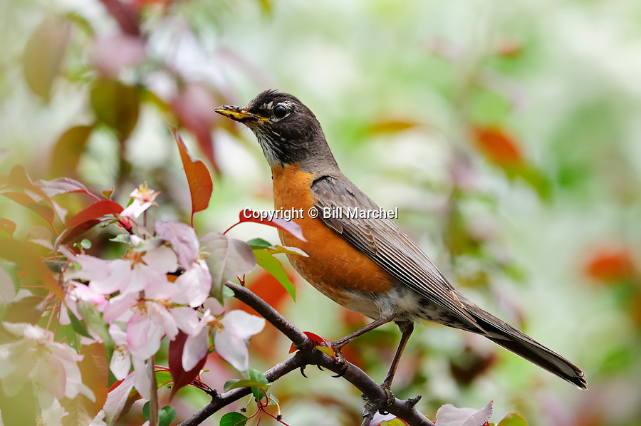 00980-020.05 American Robin has mud on its bill from gathering worms as it is perched in a crab apple tree in bloom.