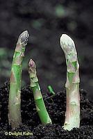 HS20-007a  Asparagus - new shoots, perennial - Jersey Centennial variety