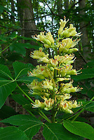 The upright flower cluster of the Ohio Buckeye (Aesculus glabra) tree, Franklin County, Ohio. This tree is native to North American and is found in highest density within mixed hardwood forests of Midwestern states. It's the official state tree of Ohio. Franklin County, Ohio, USA.