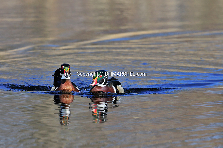 00360-100.09 Wood Duck pair of drakes on the water of marsh.  Waterfowl, wetland, color.