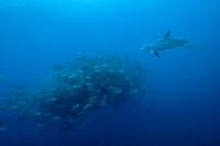 bottlenose dolphin, Tursiops truncatus, chases spawning aggregation of dog snappers, Lutjanus jocu Gladden Spit & Silk Cayes Marine Reserve, off Placencia, Belize, Central America (Caribbean Sea)