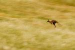 Eastern Grey Kangaroo (Macropus giganteus) hopping in grassland, Mount Taylor Nature Reserve, Canberra, Australian Capital Territory, Australia