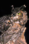 Great horned owl Buba virginianus