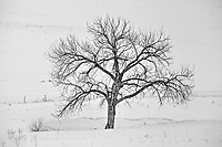 A Plains Cottonwood Tree thrives in a draw at the bottom of a snow covered hill.