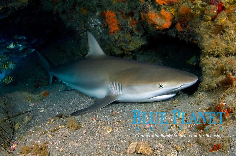 Caribbean reef shark, Carcharhinus perezii, sleeping in a cave in Jupiter, Florida, USA, Caribbean Sea, Atlantic Ocean