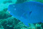 Bonaire, Netherlands Antilles; a large, terminal phase Blue Parrotfish swims over the coral reef , Copyright © Matthew Meier, matthewmeierphoto.com All Rights Reserved