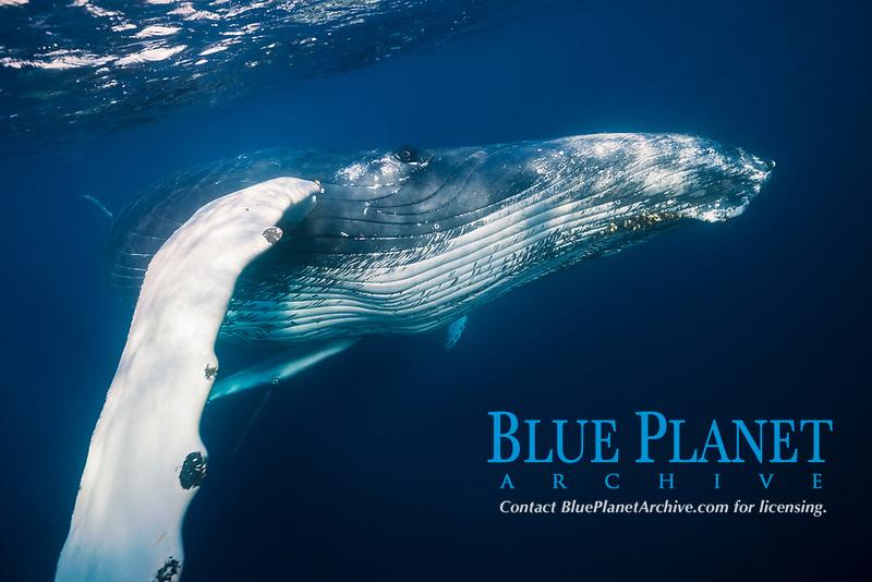 Humpback Whale, Megaptera novaeangliae, Silver Bank, Atlantic Ocean, Dominican Republic