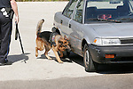 A police dog searching for drugs on an old car