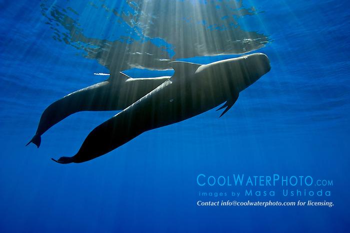 silhouette of short-finned pilot whales, Globicephala macrorhynchus, Kona Coast, Big Island, Hawaii, USA, Pacific Ocean