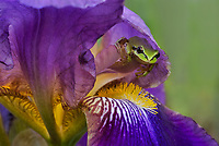 Pacific tree frog (Pseudacris regilla), also known as the Pacific chorus frog on backyard, domestic iris blossoms.  Pacific Northwest, May.