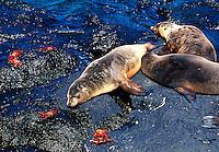 Animal lobo marinho em Galápagos. Equador.<br /> Foto de Juca Martins. Data: 1996.