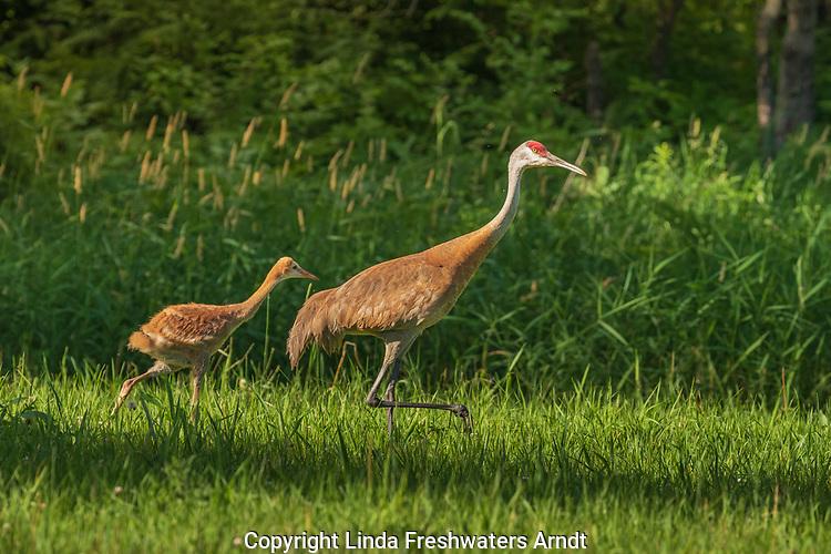 Sandhill crane family walking in a northern Wisconsin field.