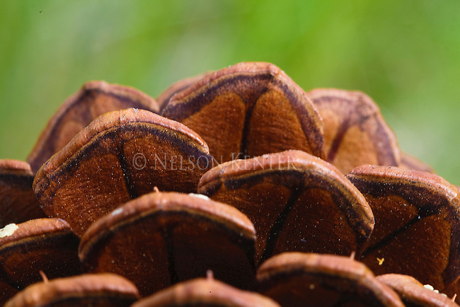 Detail of a ponderosa pine tree cone