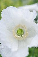 Papaver somniferum 'Single White'