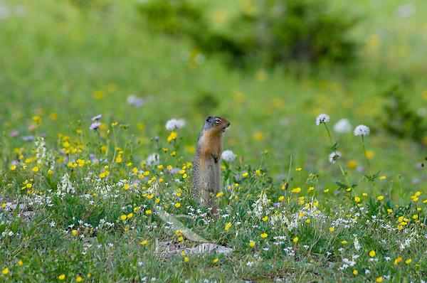 Columbian Ground Squirrel (Spermophilus columbianus) in wildflowers.  Glacier National Park, Montana.  Summer.