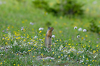 Columbian Ground Squirrel (Spermophilus columbianus) in wildflowers.  Glacier National Park, Montana.  Summer.