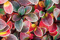 Autumn colored bearberry with morning frost, Arctic Alaska