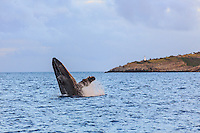 A mature humpack whale is caught in the early stage of her full breach in Ma'alaea Bay, west coast of Maui.