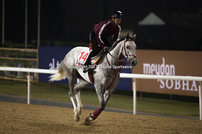 DUBAI,UNITED ARAB EMIRATES-MARCH 23: Lani,trained by Mikio Matsunaga,exercises in preparation for the Dubai World Cup at Meydan Racecourse on March 23,2017 in Dubai,United Arab Emirates (Photo by Kaz Ishida/Eclipse Sportswire/Getty Images)